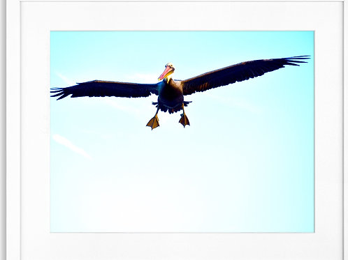 Framed Pelican 06 In Flight Photography By Concetta Ellis