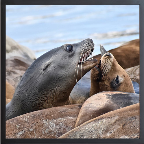 Framed SEALS KISSING #03 Photography By Concetta Ellis