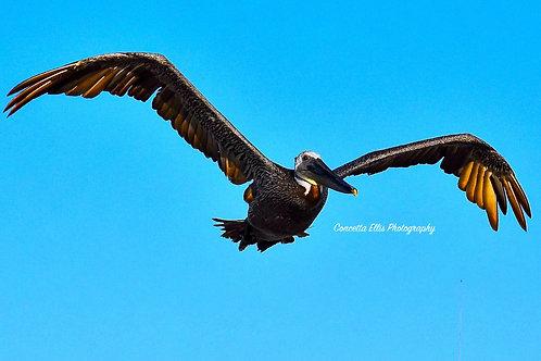 Note Card Pelican 11 Rancho Palos Verdes, CA Photography By Concetta Ellis