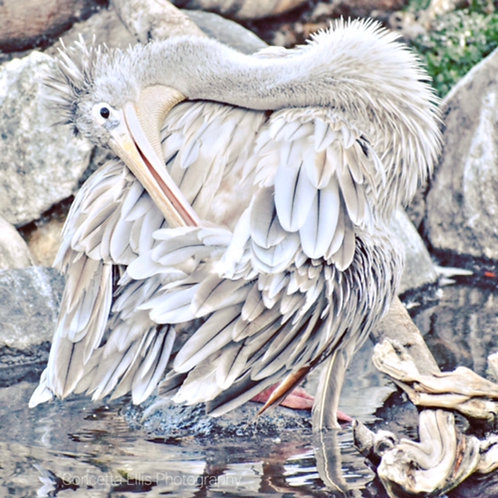 Note Cards White Pelican Posing