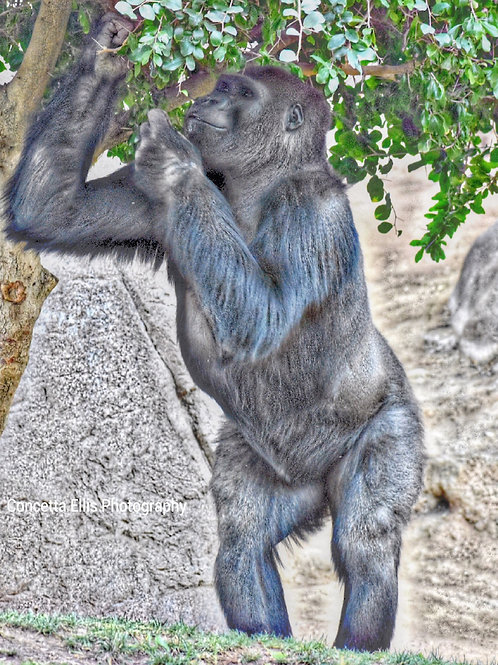 Note Card Ape Photography By Concetta Ellis