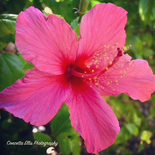 Square Note Card Pink Hibiscus Flower