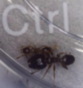 Big Headed Ants.jpg