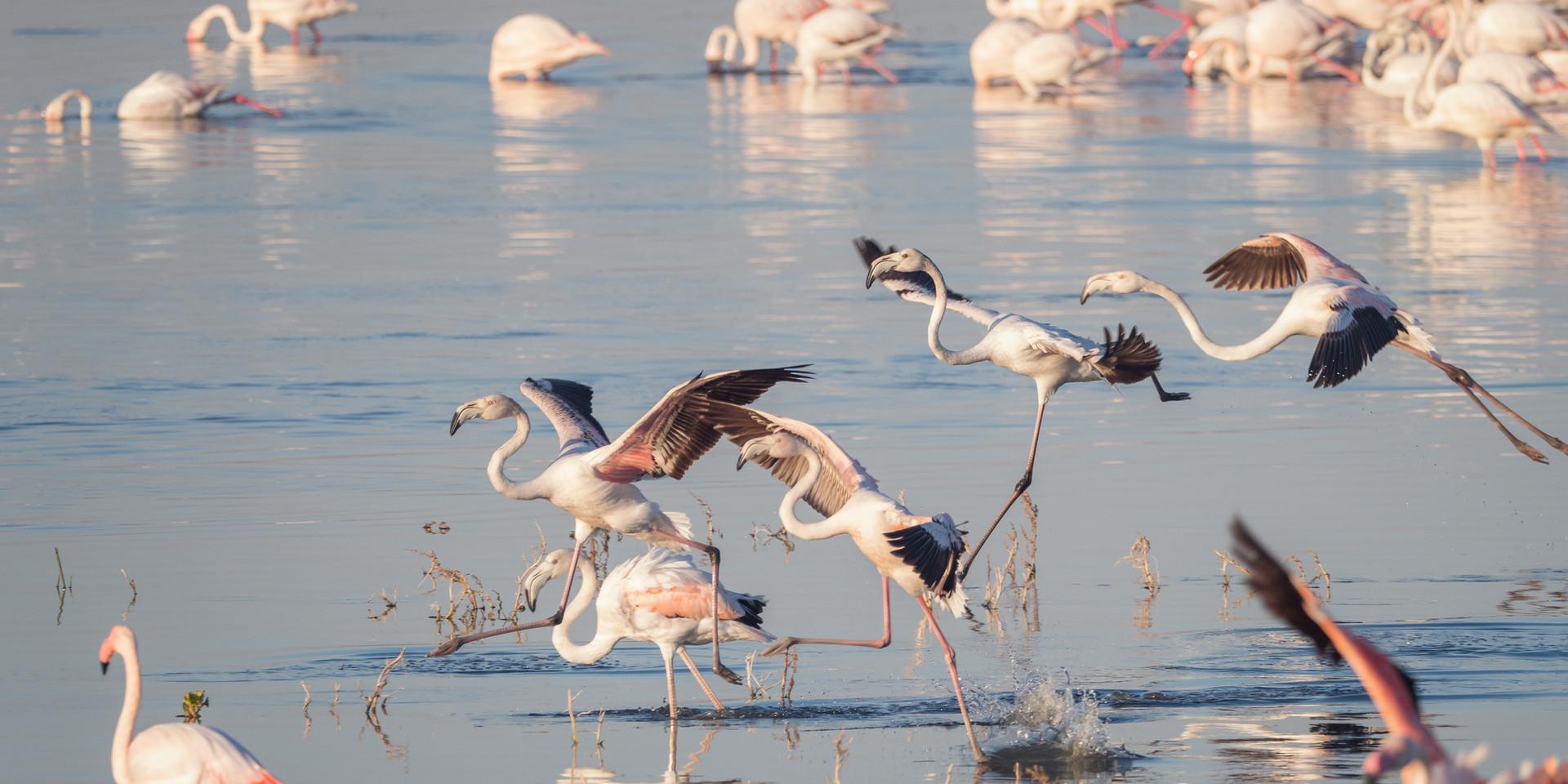 greater-flamingoes-3563676.jpg