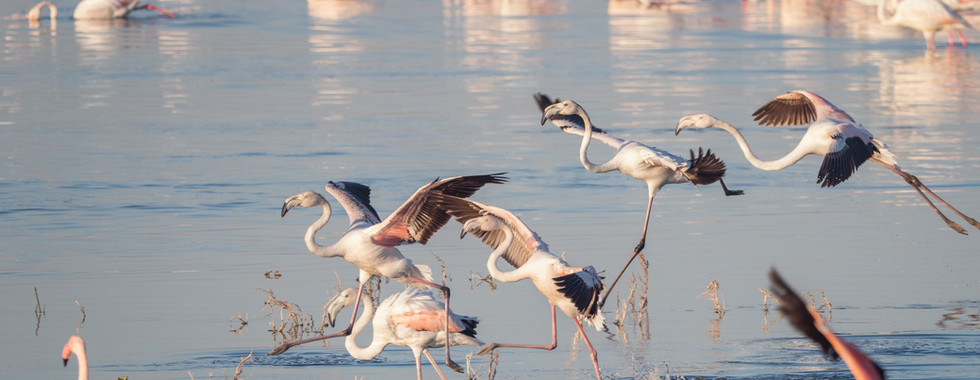 greater-flamingoes-3563676.jpg