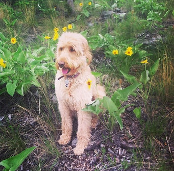Tess goldendoodle.jpg