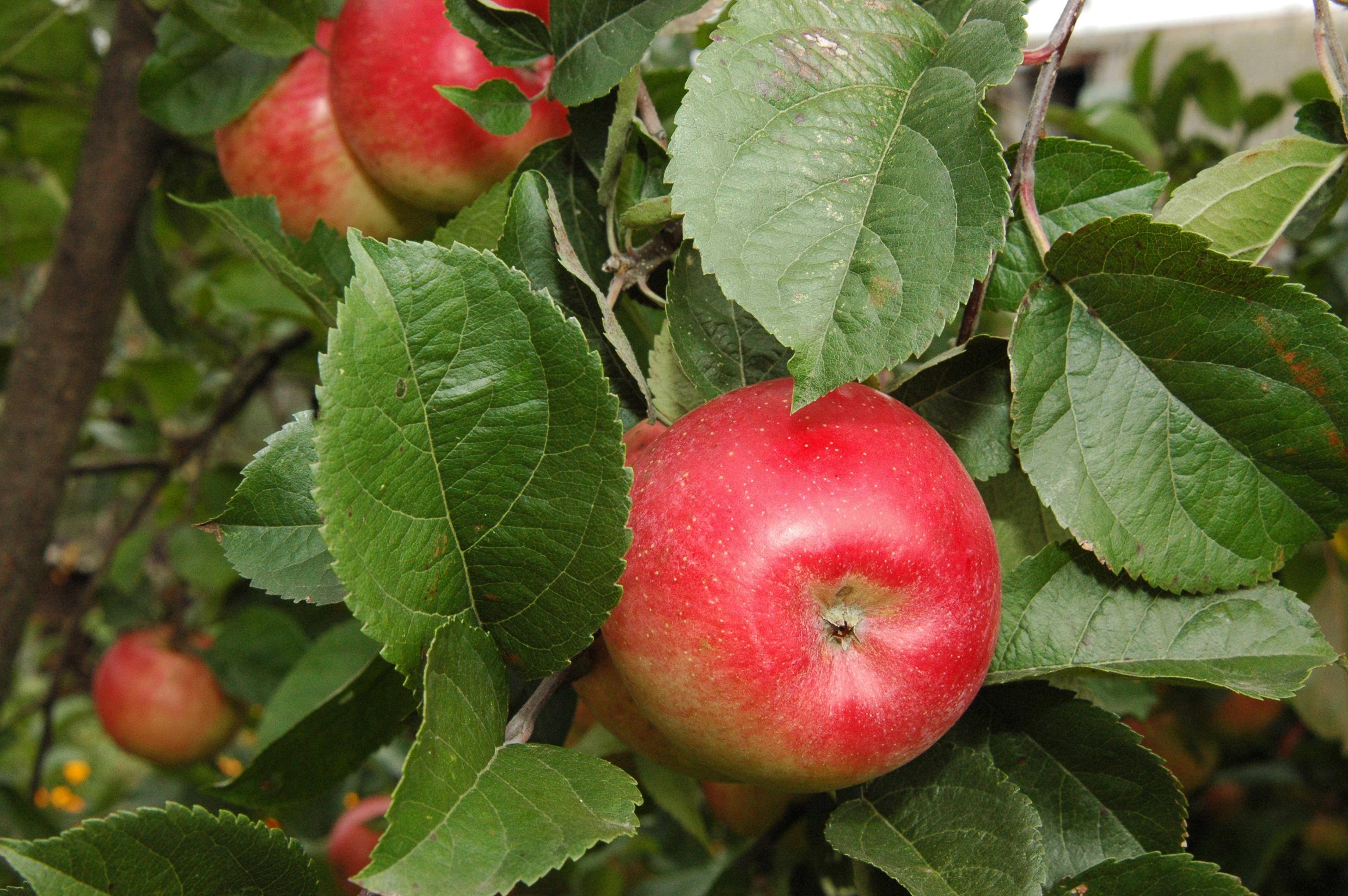 własne jabłka