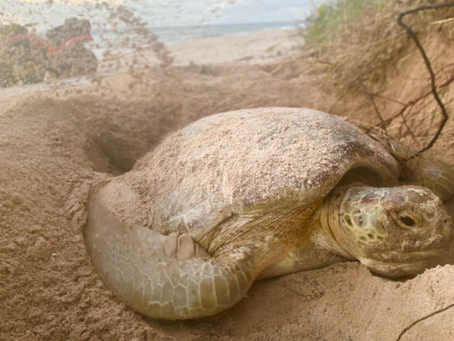 Florida could see a sea turtle baby boom—thanks to pandemic