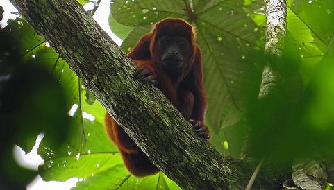 Filandia monkeys