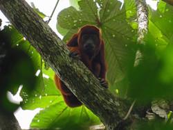 Filandia monkey