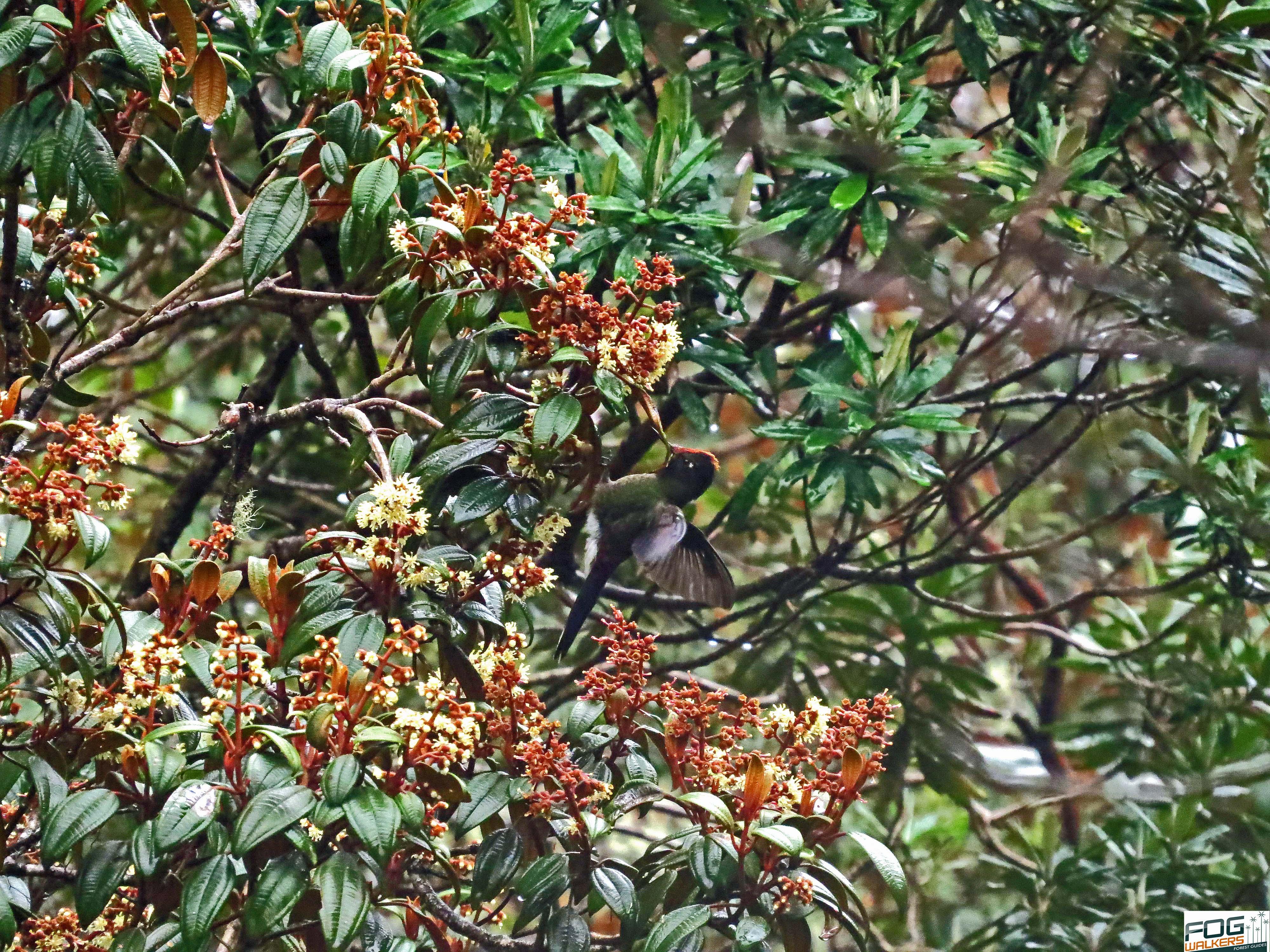 hummingbird P.N.N.