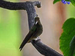 hummingbird Cocora