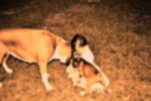Criador de Cachorro Boxer