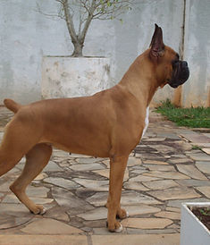Raça Boxer