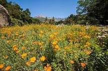 California Poppies, Santa Barbara Botanic Garden.jpg