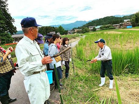 マコモ収穫の写真2.jpg