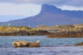 Sgurr of Eigg, Common Seals.jpg