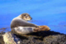 Young Common Seal.jpg