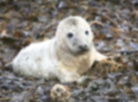Atlantic Seal Pup.jpg