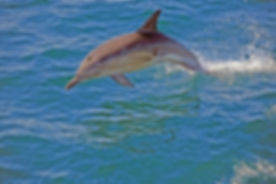 Common Dolphin 1.jpg