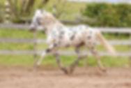Fintel KNN 125 Knabstrupper Stallion.jpg