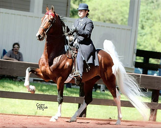 American Saddlebred Lessons Breeding Training Show Horses Saddleseat