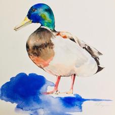 Duck watercolour by Sydney artist and designer Belinda Baynes