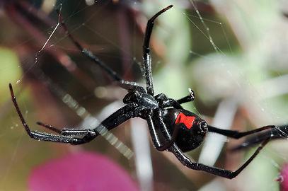 teia-aranha-viuva-negra.jpg