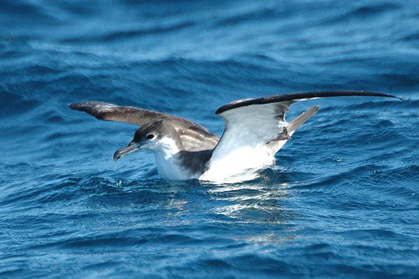 Sea bird ~ Buller's Shearwater ~ New Zealand