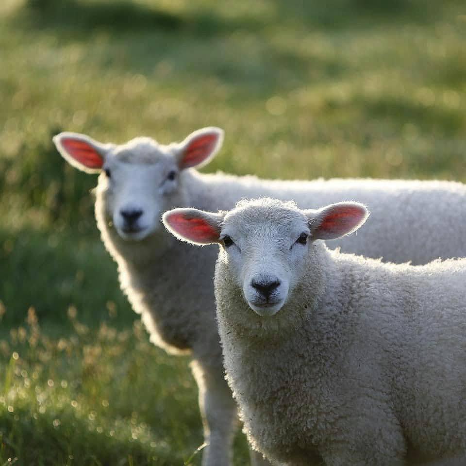 Lambs at pasture in the South Island, Canterbury, New Zealand.  Lambs at a Canterbury farm stay.
