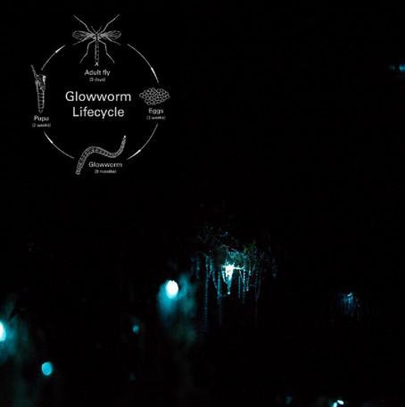 New Zealand & Australian Glow Worms: A Natural Wonder