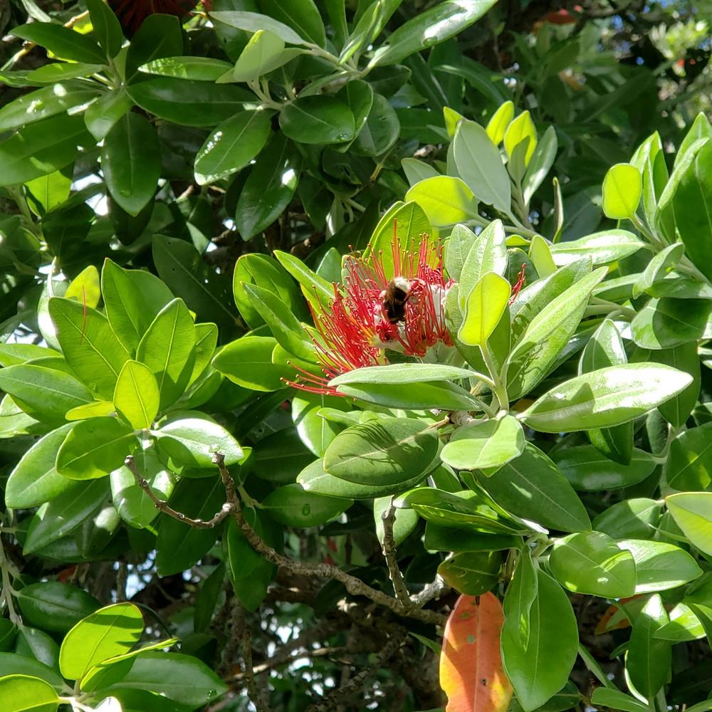 Pohutukawa Bloom with Bee