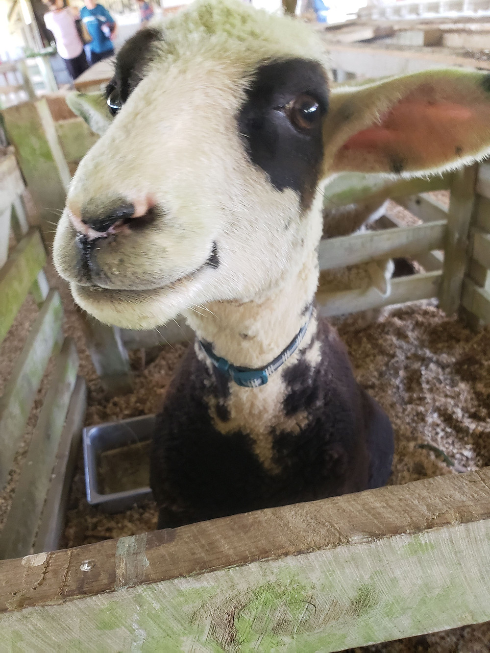 An animal experience at the Kaikohe A & P Show