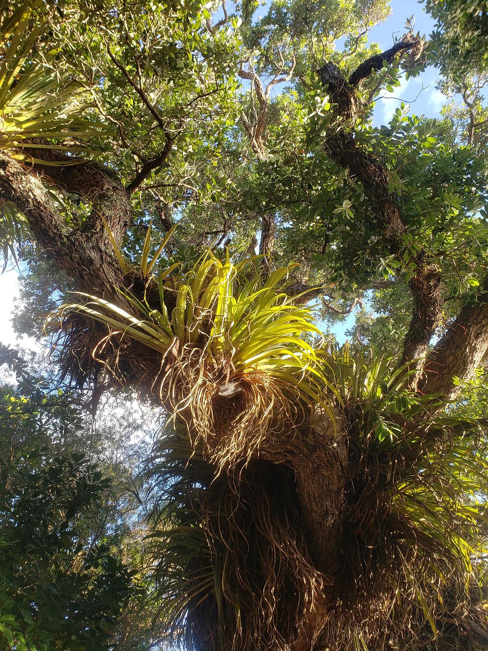 Pohutukawa with epiphytes