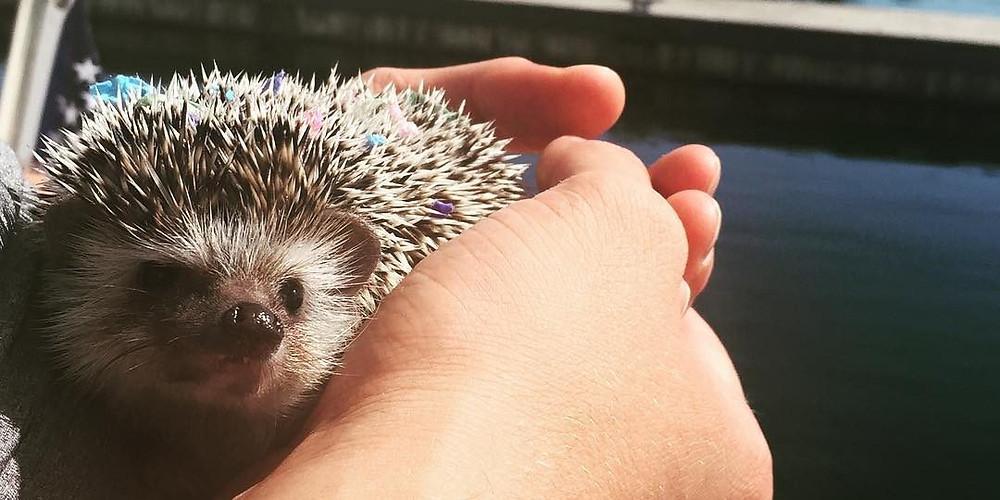 Ryan's pet hedgehog, Buddy.