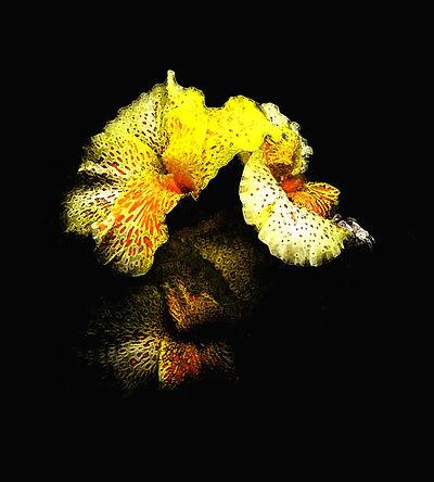 Iris Gold  18x20 $350