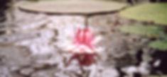 lily_pink[2].jpg
