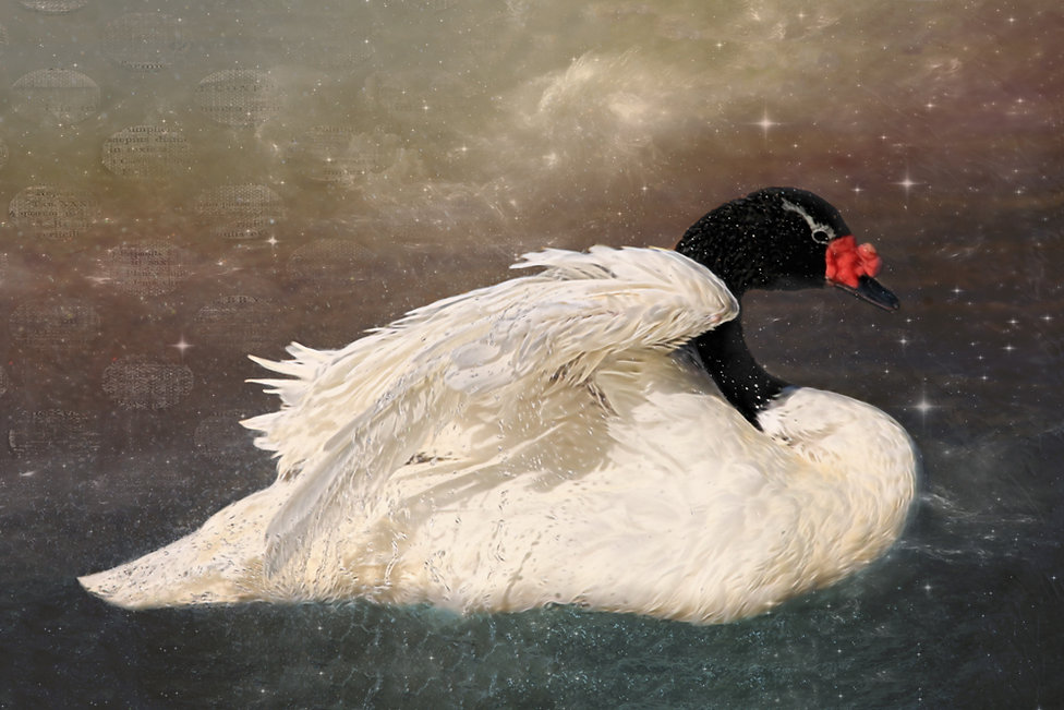 NightSwan.jpg