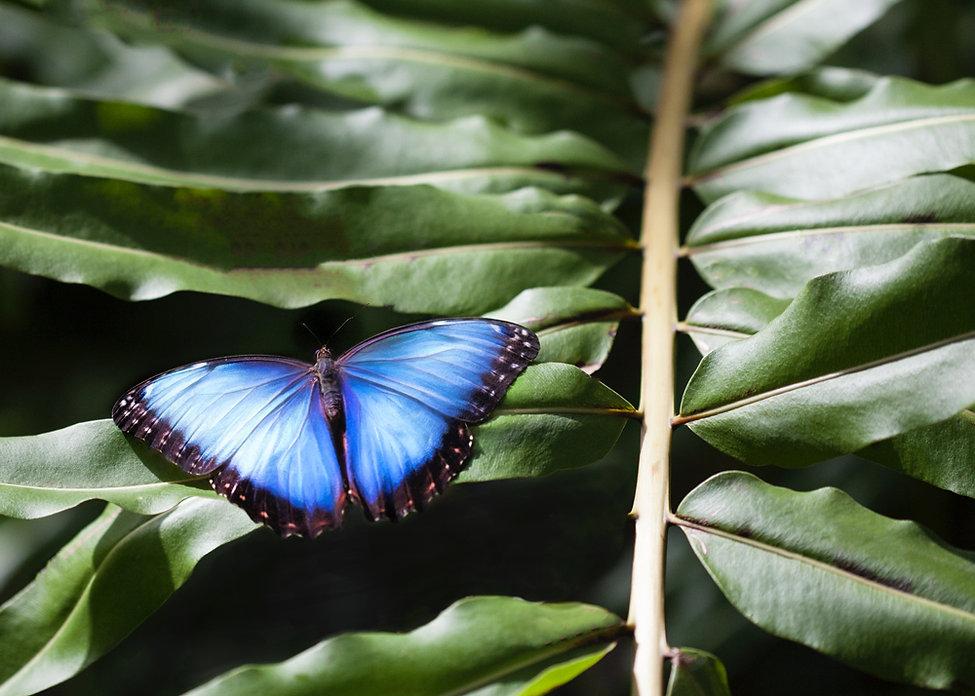 BlueButterfly.jpg