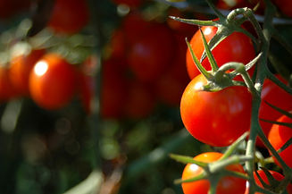 Cherry Tomatoes - Regenerative Roots.jpg