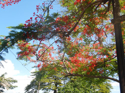 Chaconia Flowers
