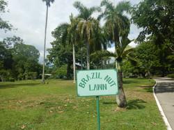 Brazil Nut Lawn