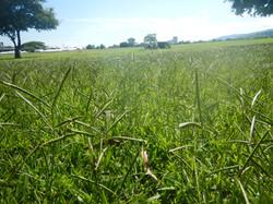 """""""The Savannah"""" Grass"""