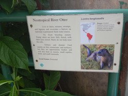 Neotropical River Otter Facts