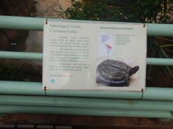 Spot-legged Turtle, Common Galap