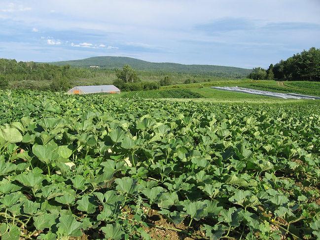 melon field.jpg