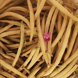 yellow beans with incidental blossom.jpg