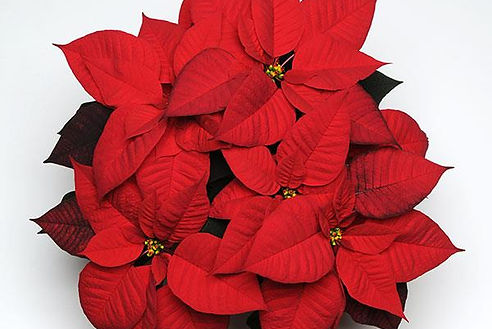 Red poinsettia.jpg