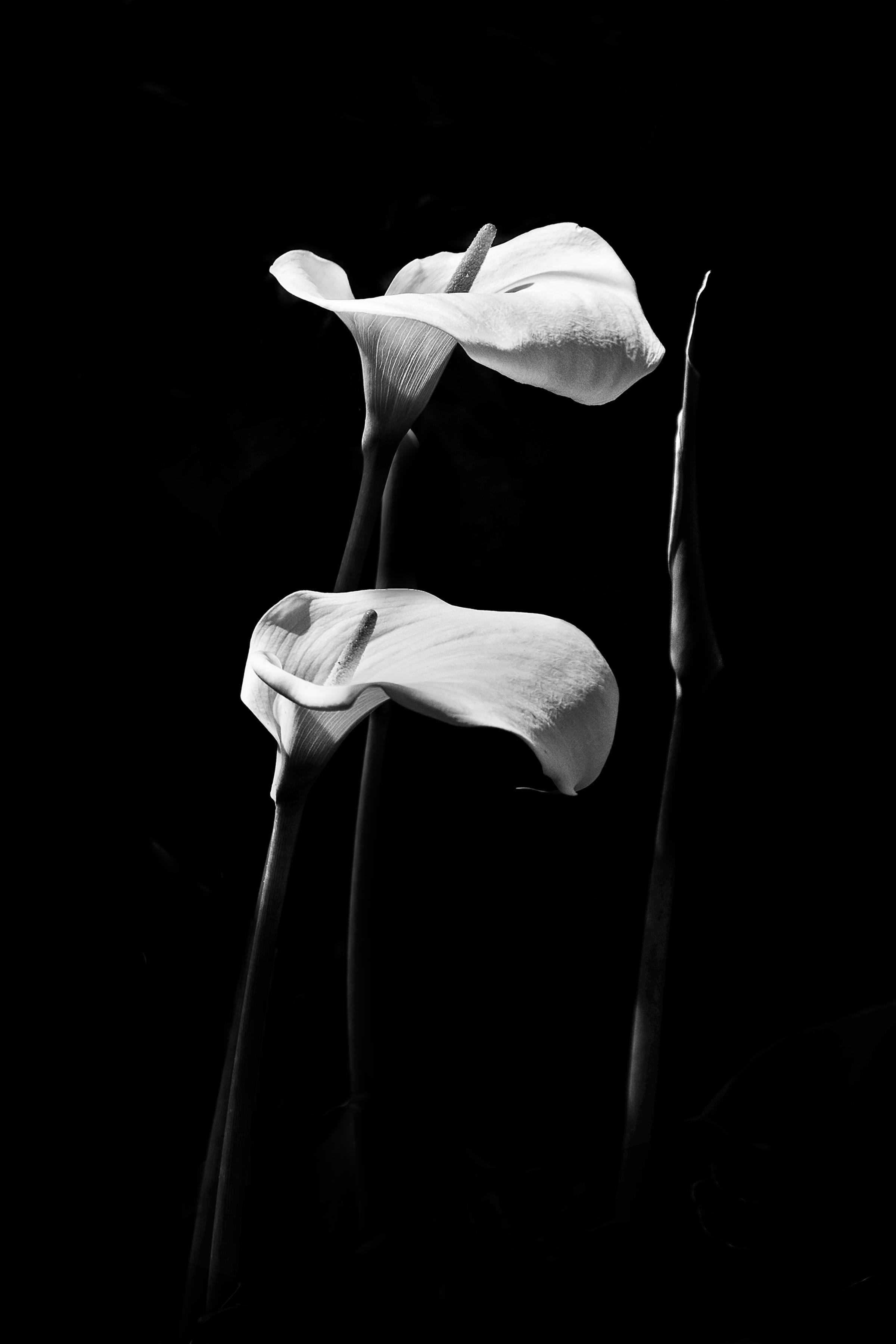 'Arum, my garden 2'