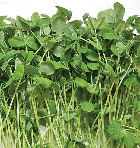 Microgreen-Pea-Shoots-Seeds-MG592-1_1024
